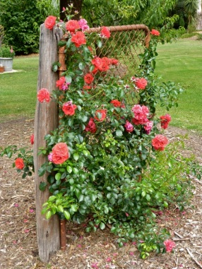 Our brilliant red carpet rose over the old gate.