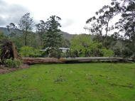 145 feet of monster tree